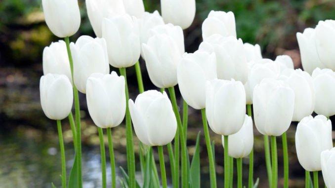 weisse-tulpen