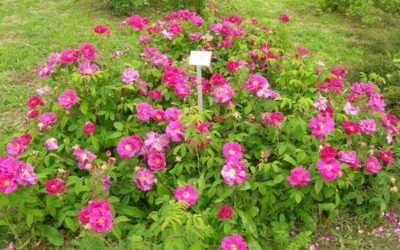 APOTHEKER ROSE – Rosa gallica Officinalis