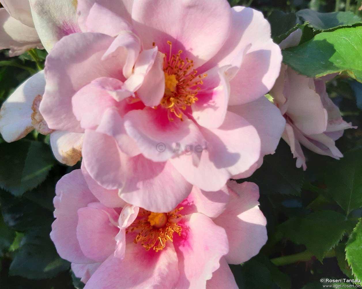 Orienta-Magnolia Rosen
