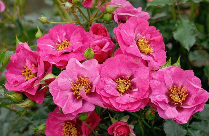 Orienta® Rosen, Rosen aus Tausendundeiner Nacht