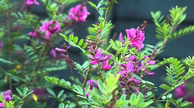 Schmetterlingsblüte
